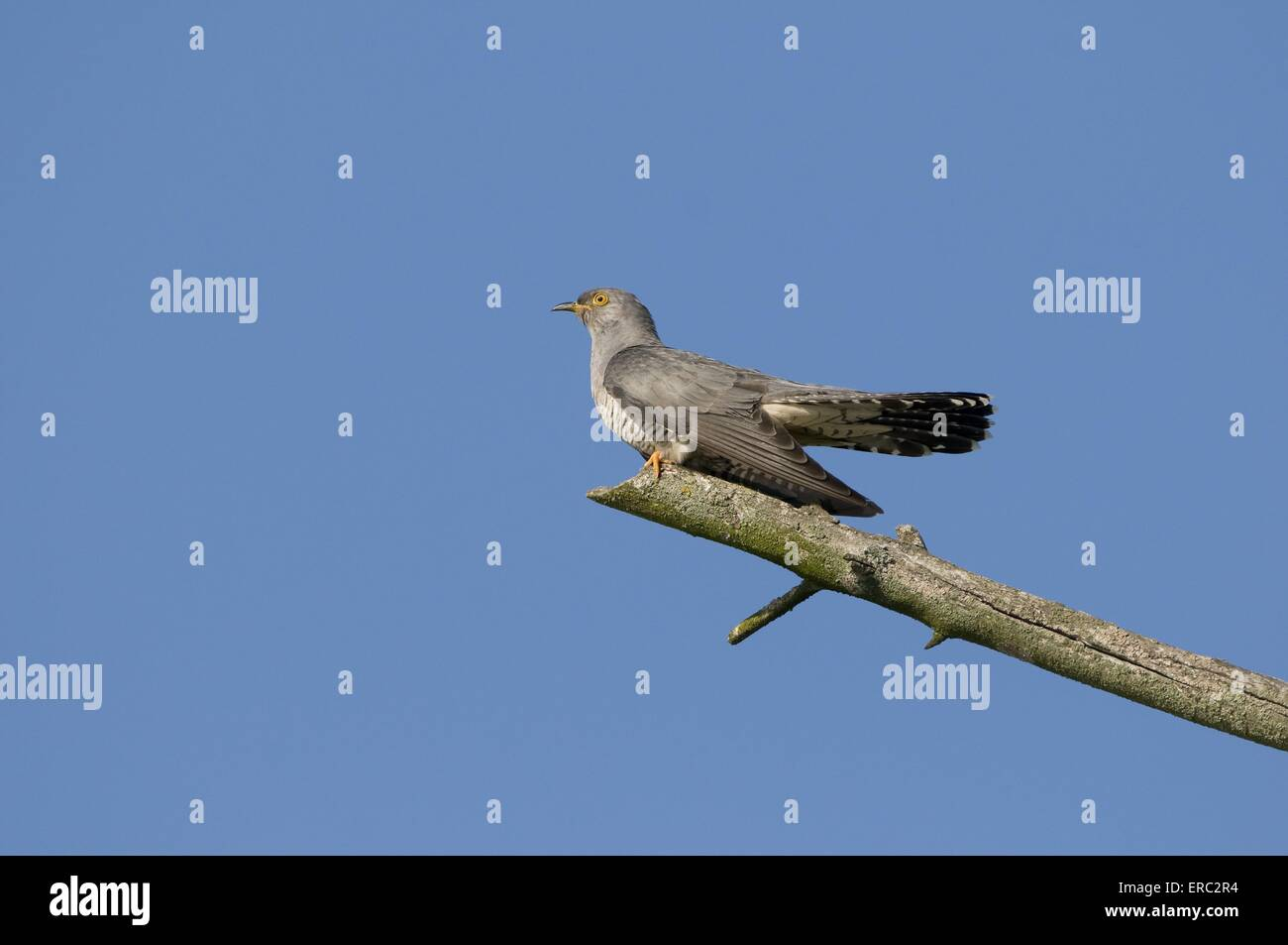 eurasian cuckoo - Stock Image