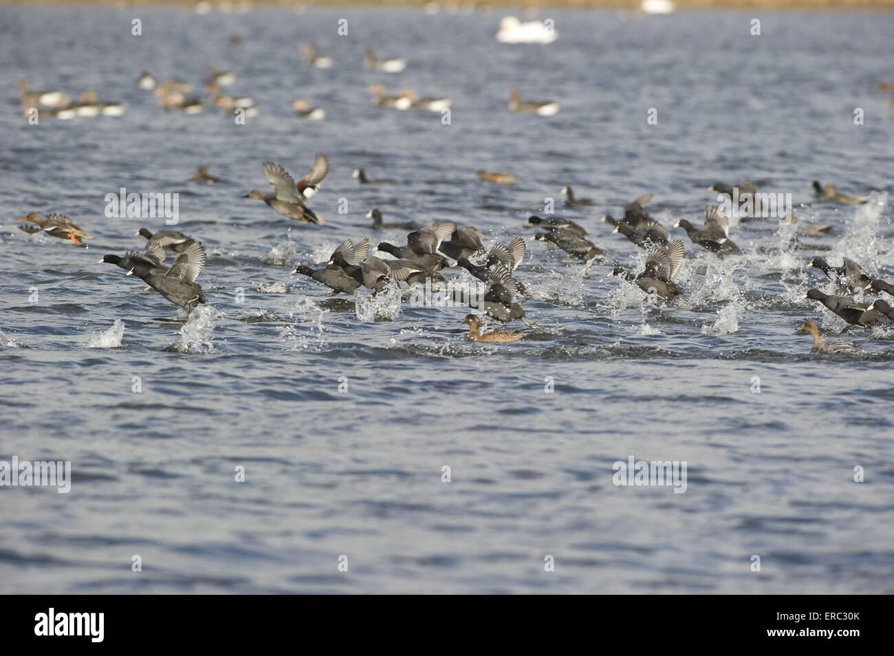 Eurasian black coots Stock Photo