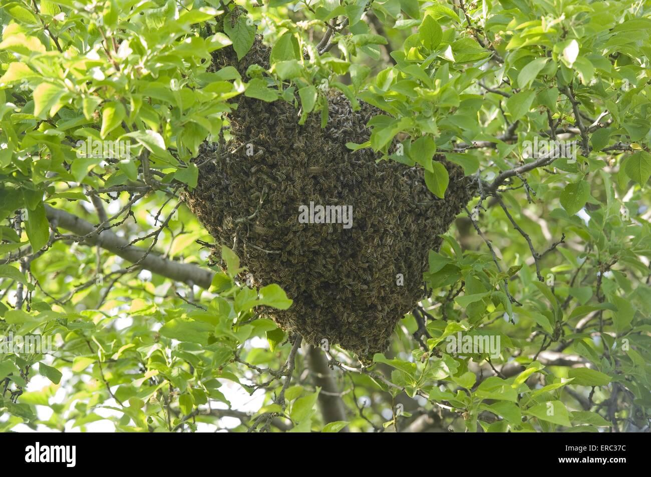 european bees - Stock Image