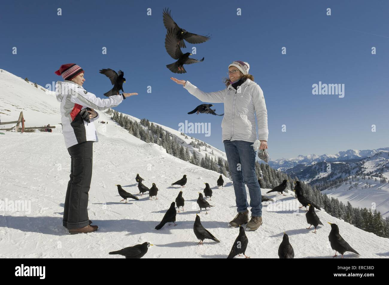 humans and alpine yellow-billed choughs - Stock Image