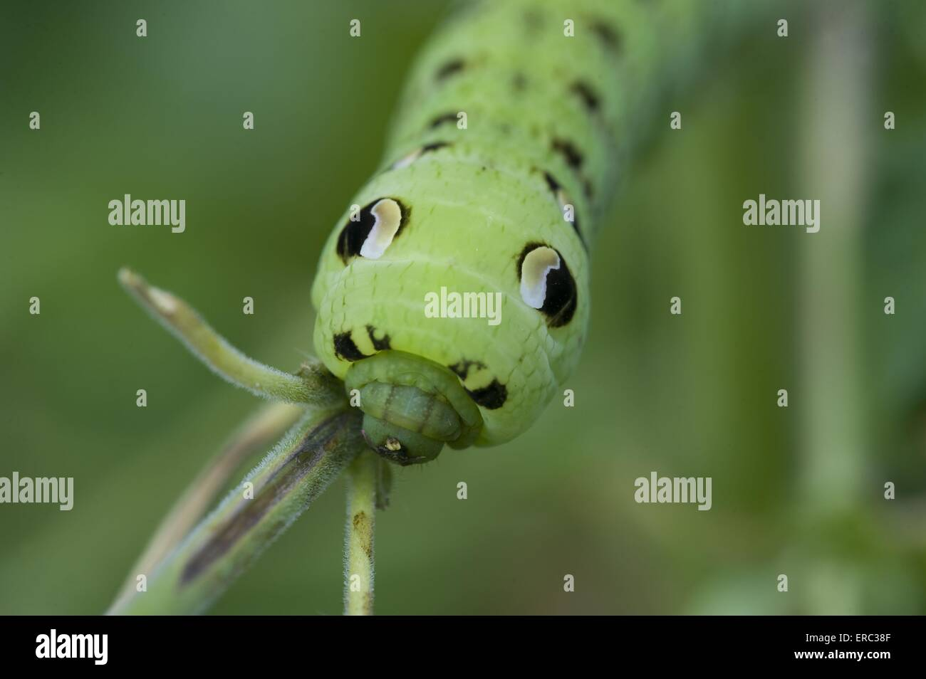 hawk-moth grub - Stock Image