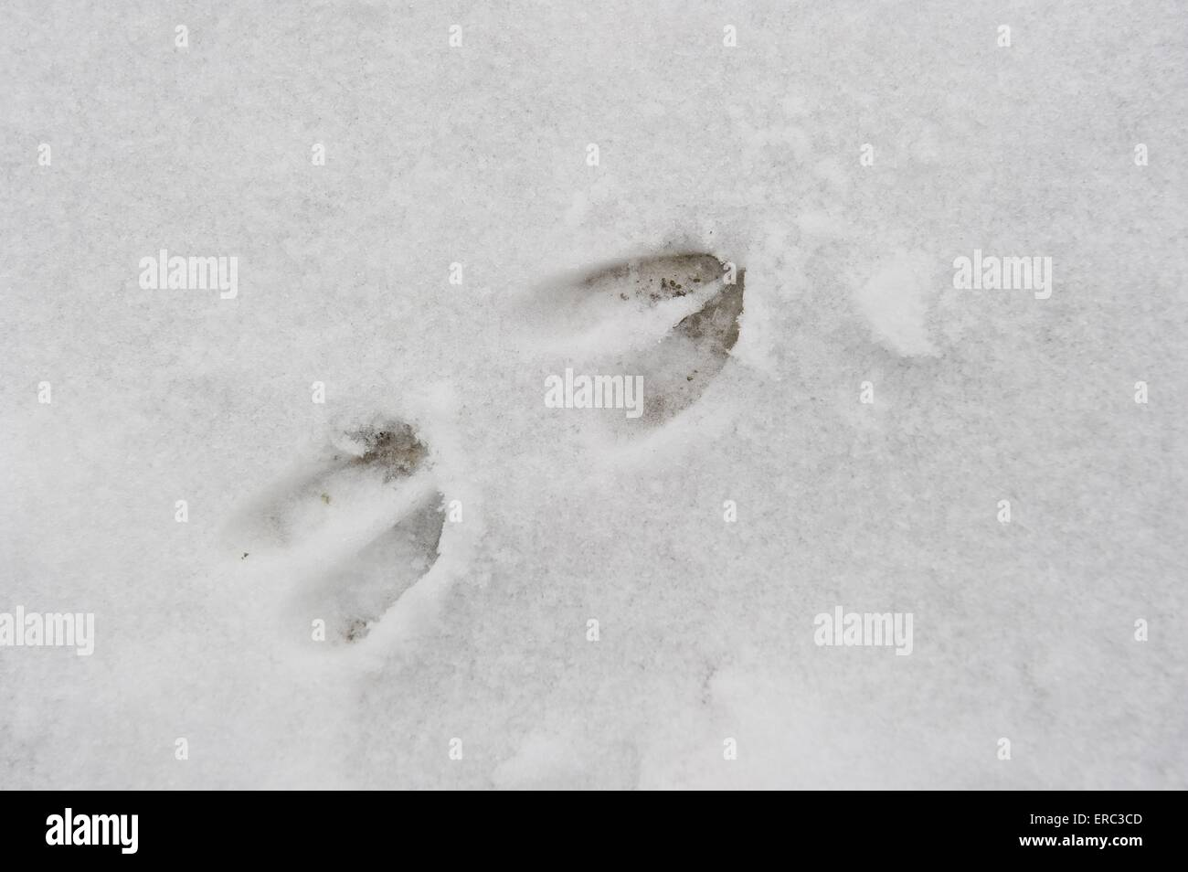 roe deer footprint - Stock Image