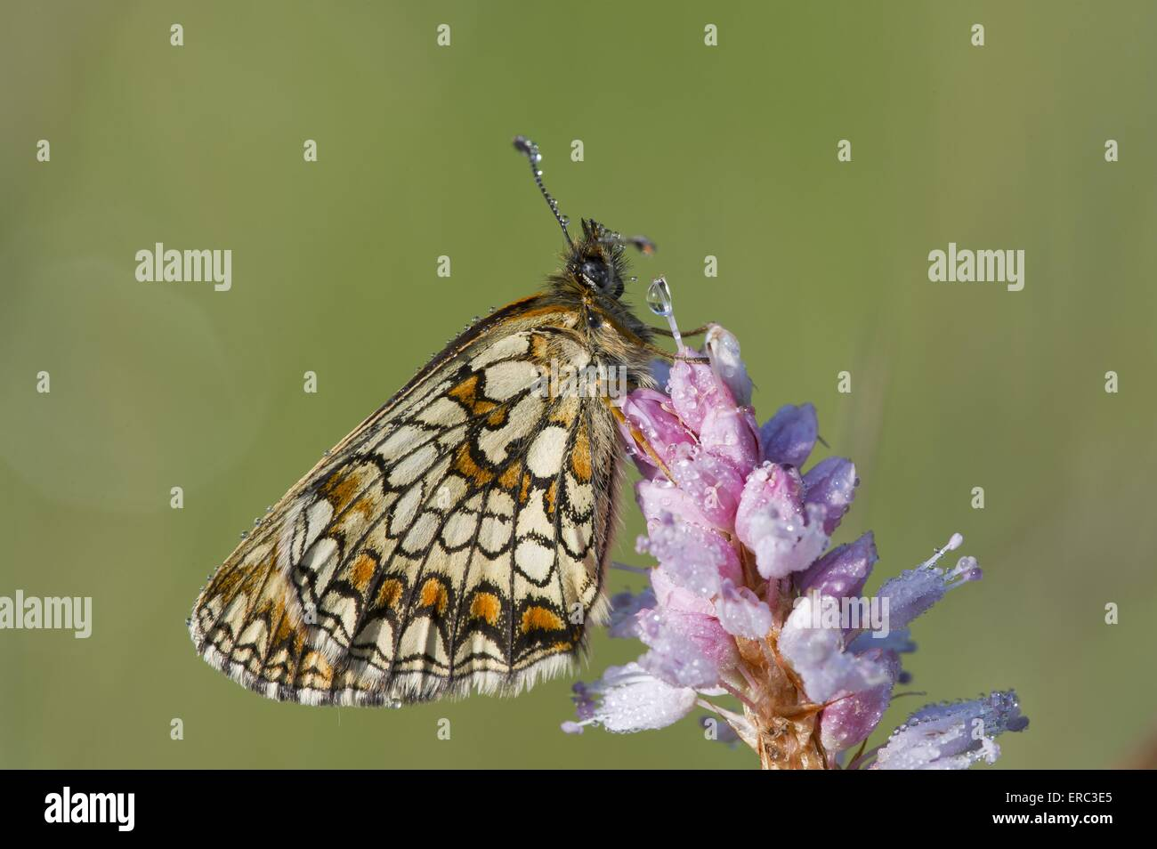 false heath fritillary - Stock Image