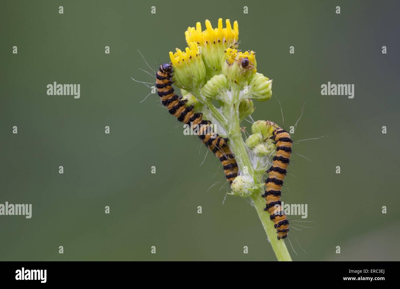 cinnabar moth grubs - Stock Image