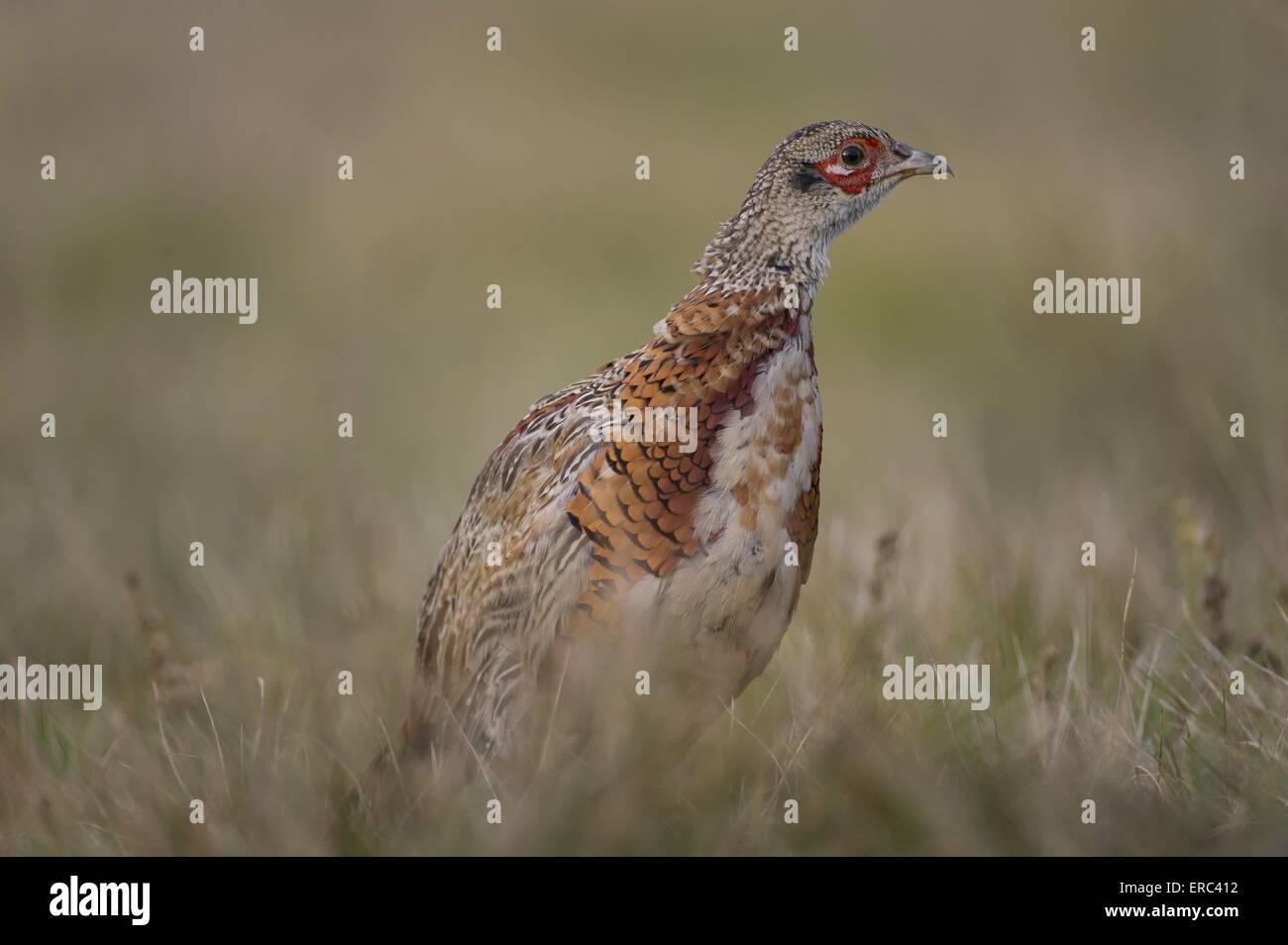 common pheasant - Stock Image