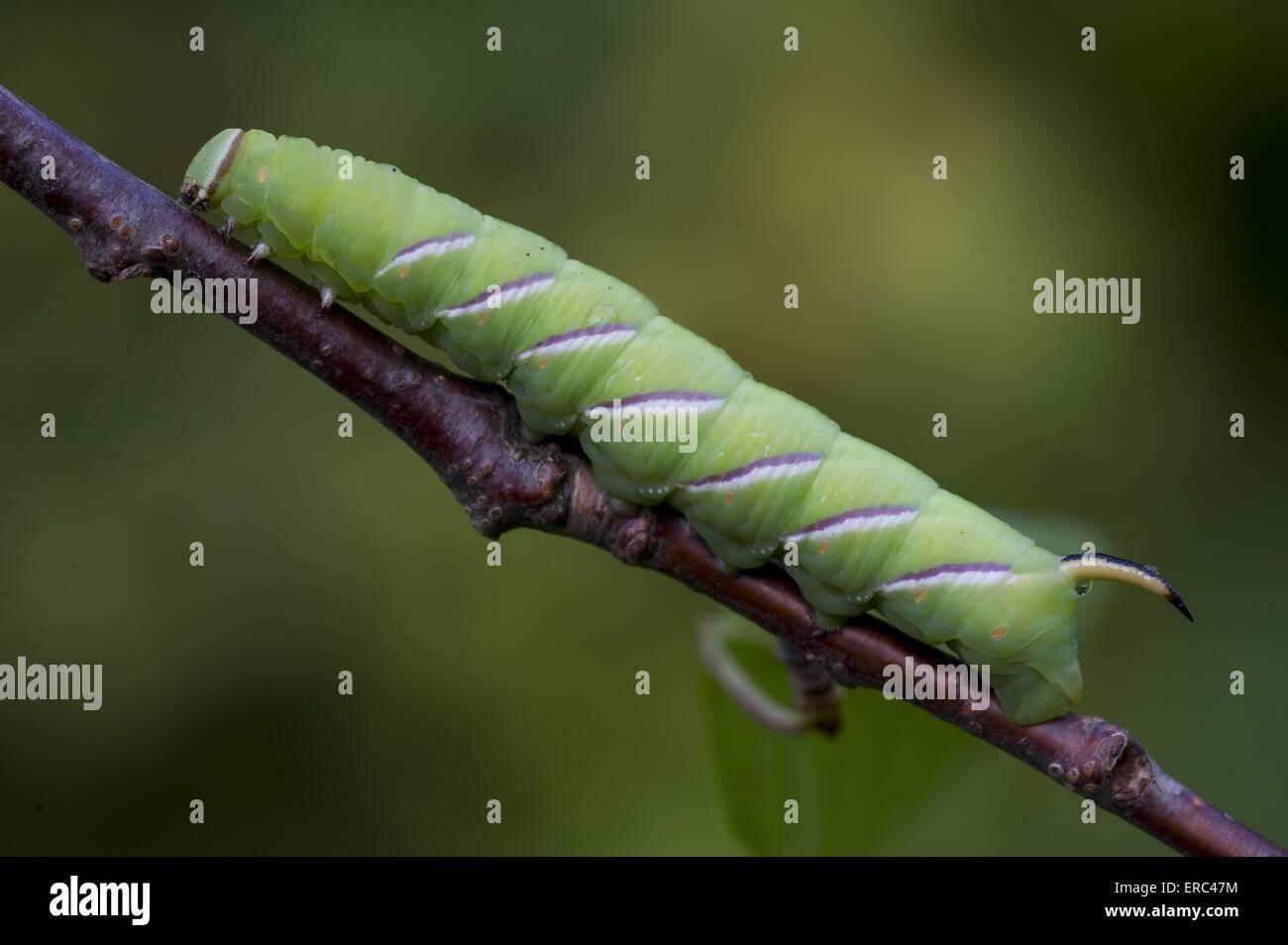 lime hawkmoth grub - Stock Image