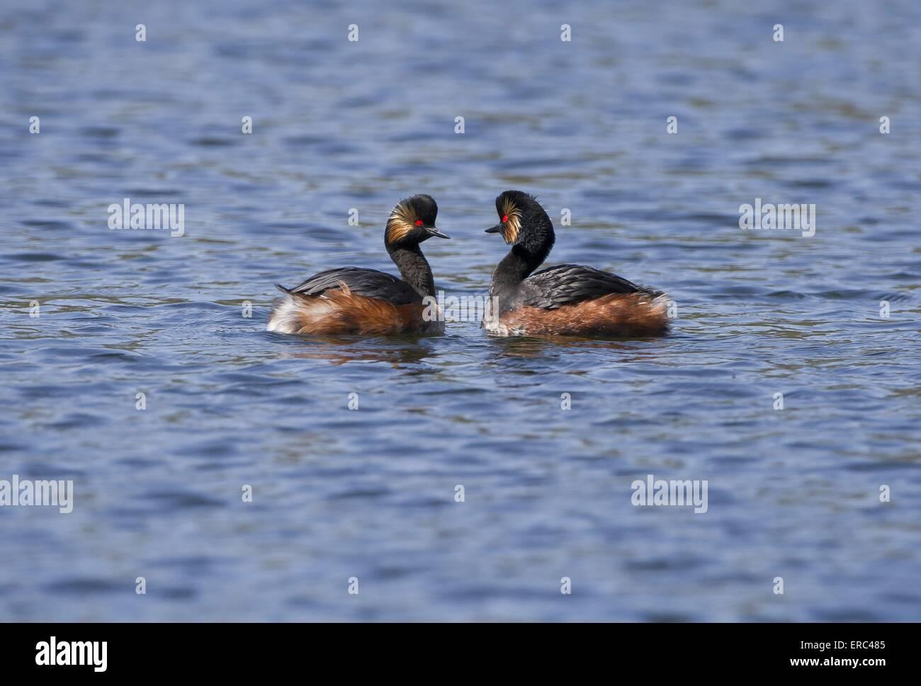 black-necked grebes - Stock Image