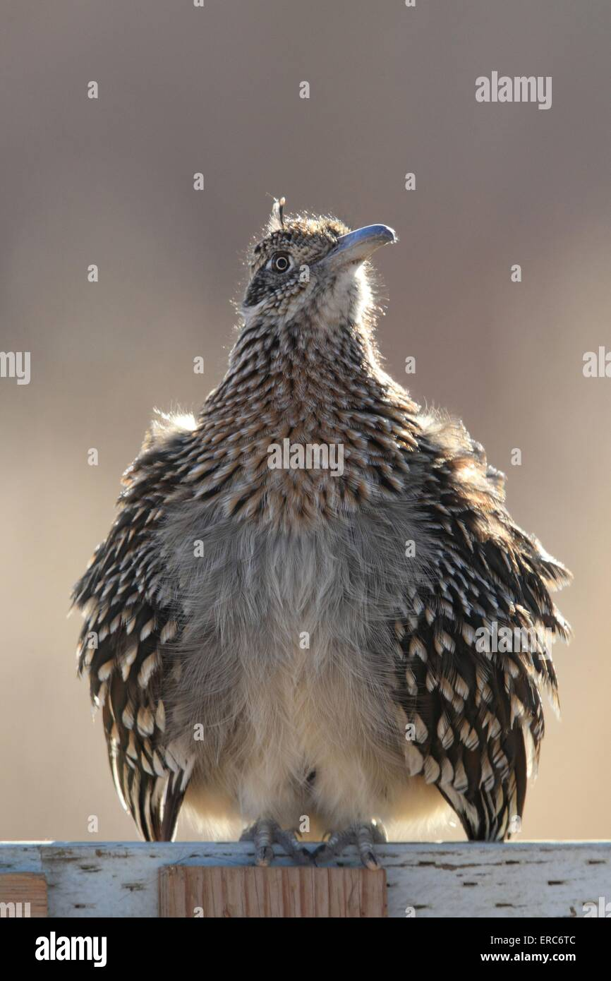 roadrunner - Stock Image