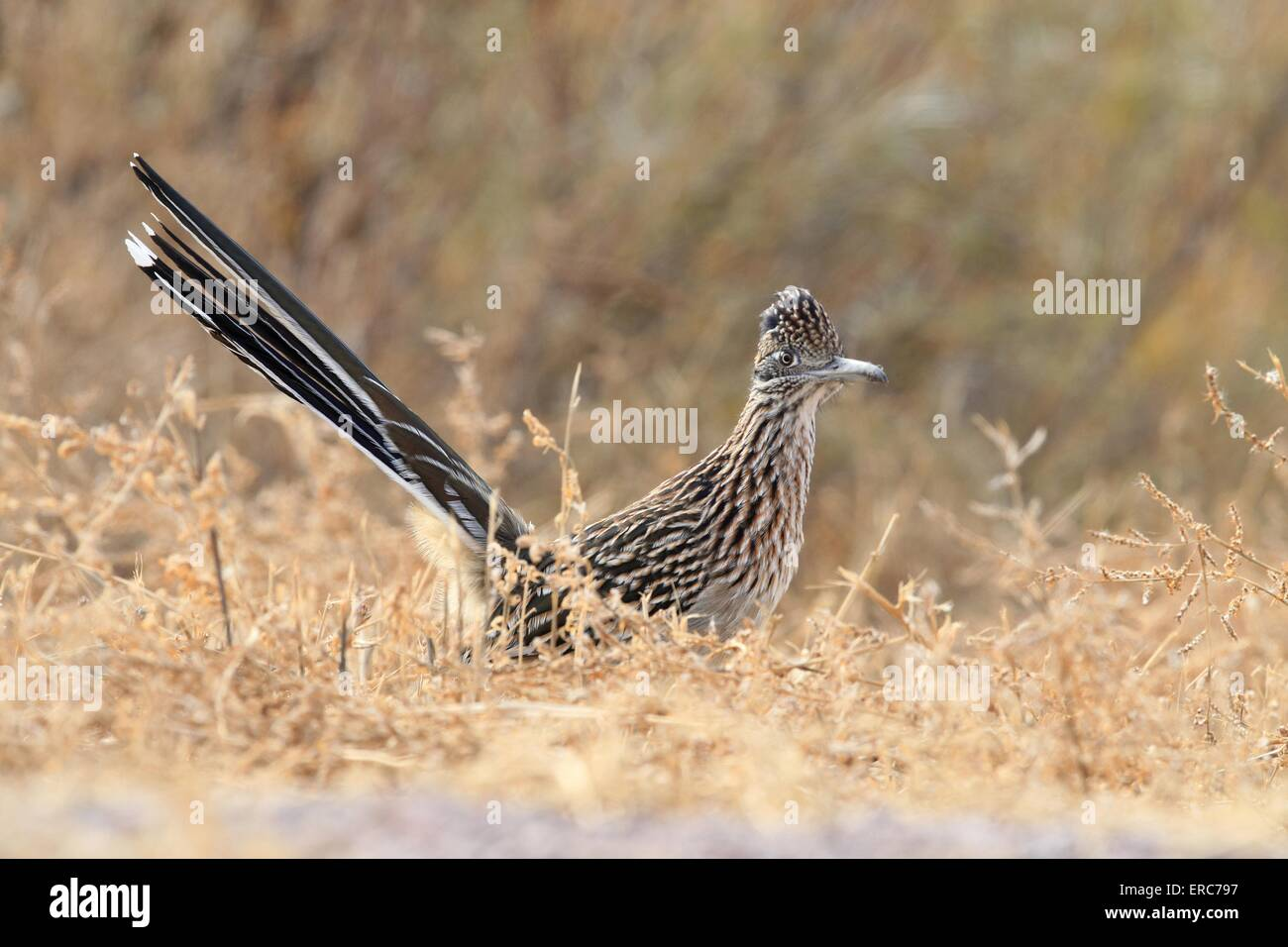 roadrunner Stock Photo