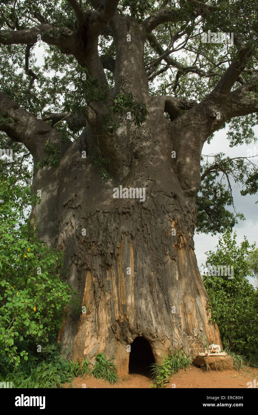 ENTRANCE TO A POACHER'S HIDE IN BAOBAB TREE - Stock Image