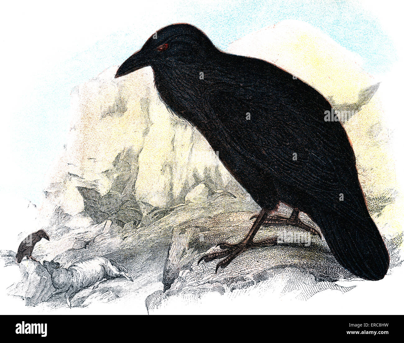 ILLUSTRATION BLACK RAVEN ON LEDGE LOOKING DOWN ON SCAVENGING BIRD WITH SHEEP - Stock Image