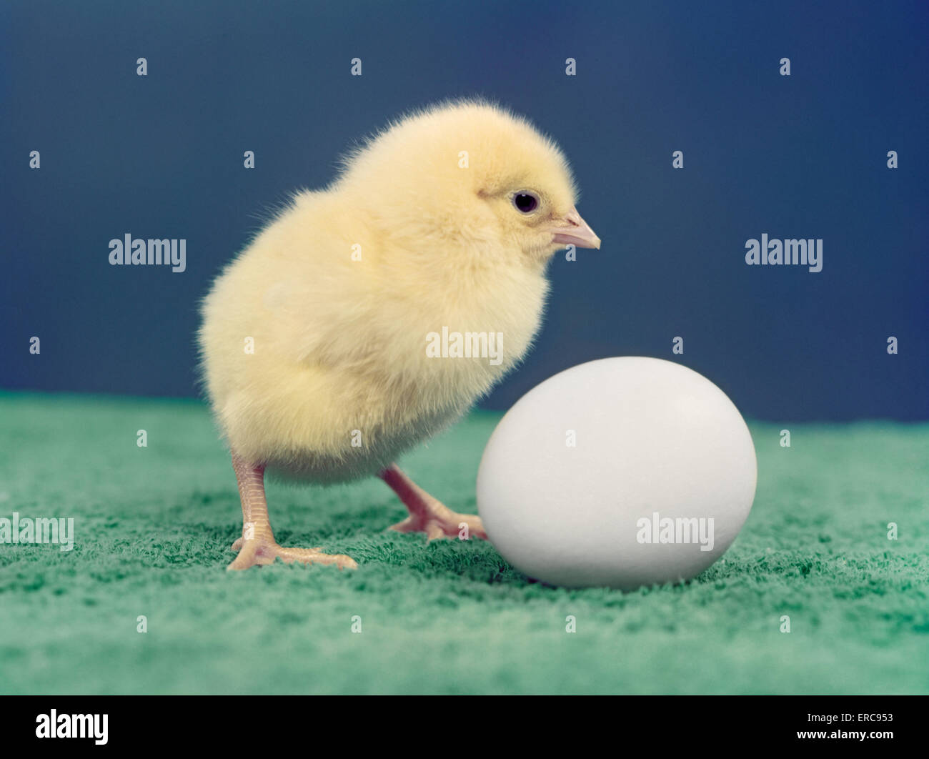 1950s BABY CHICK AND EGG - Stock Image