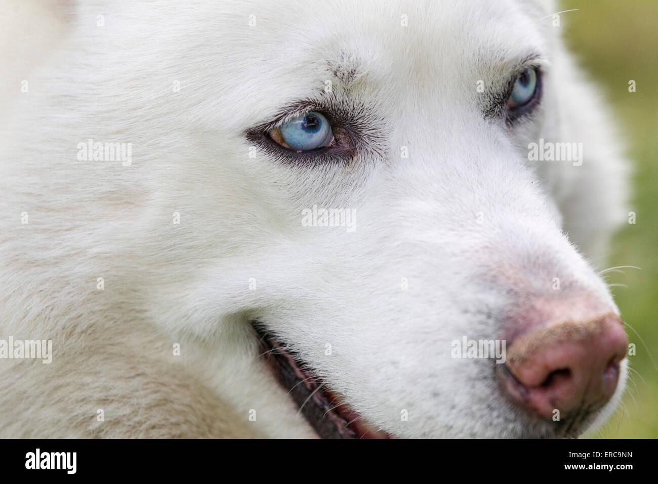 Close Up Shot Of Husky Dogs Blue Eyes Beautiful White Siberian