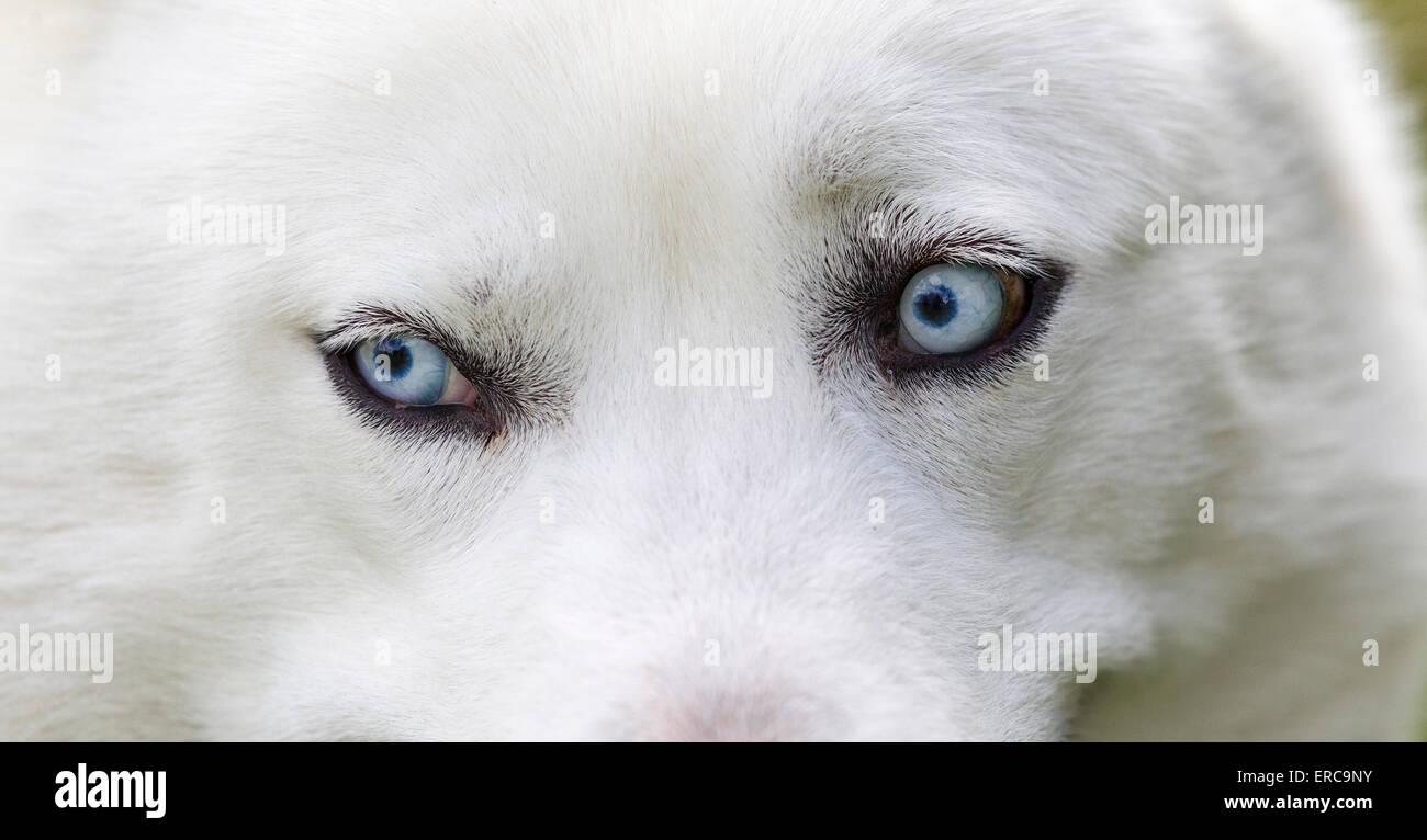 Close-up shot of husky dogs blue eyes. Beautiful white siberian husky dog portrait Stock Photo