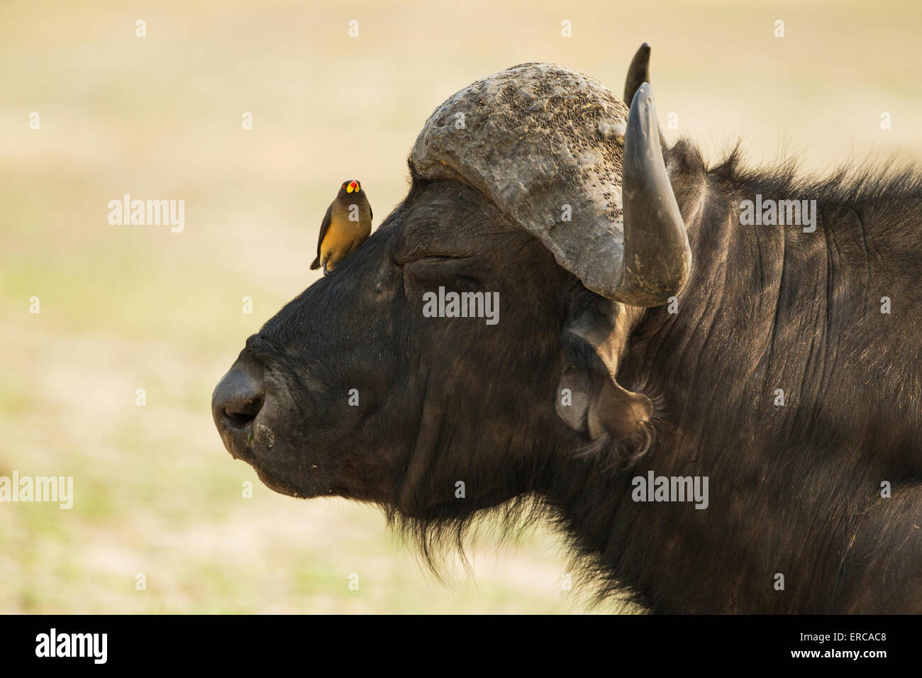 Cape Buffalo (Syncerus caffer caffer), bull with Yellow-billed Oxpecker (Buphagus africanus), the oxpeckers are - Stock Image