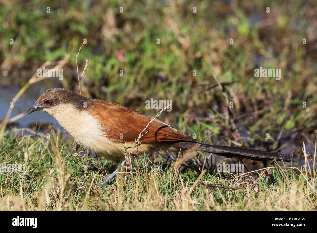 Senegal Coucal (Centropus senegalensis), Okavango Delta, Moremi Game Reserve, Botswana - Stock Image