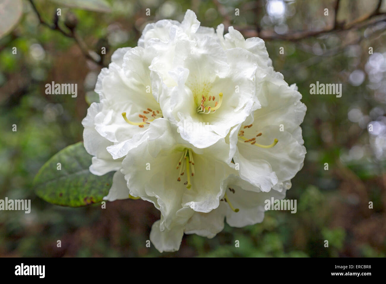 Close-up of a flowering white Rhododendron (  Ericaceae ) in the Quarry Garden of Standen House, East Grinstead, - Stock Image