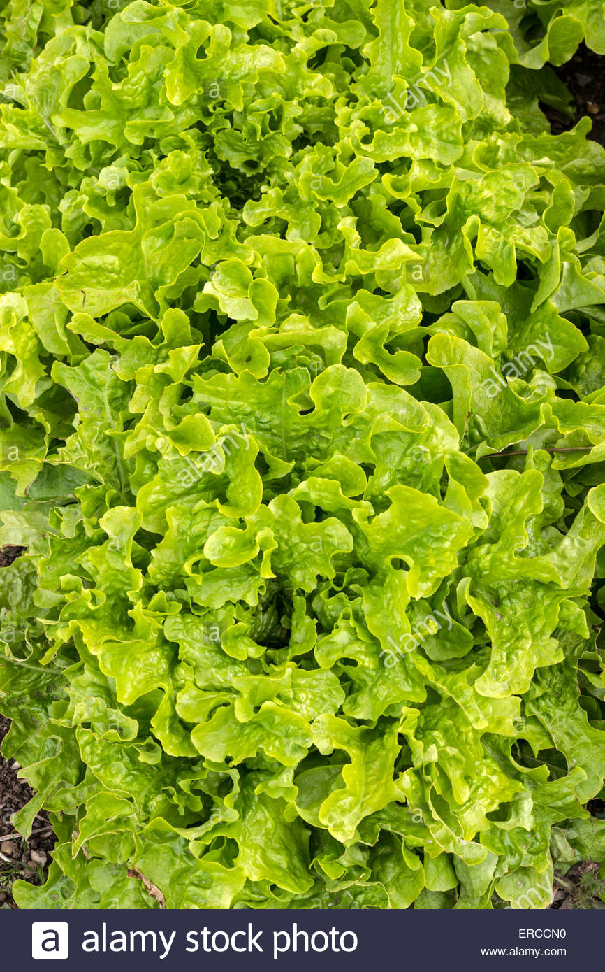 Lettuce - variety is 'Green Salad Bowl' - Stock Image