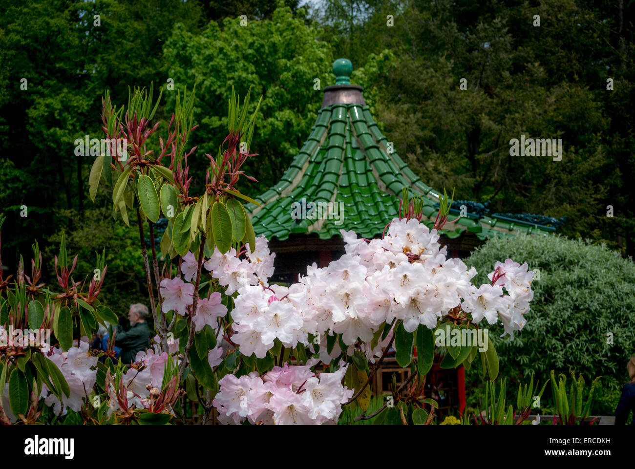 Pagoda and Rhododendron - Stock Image