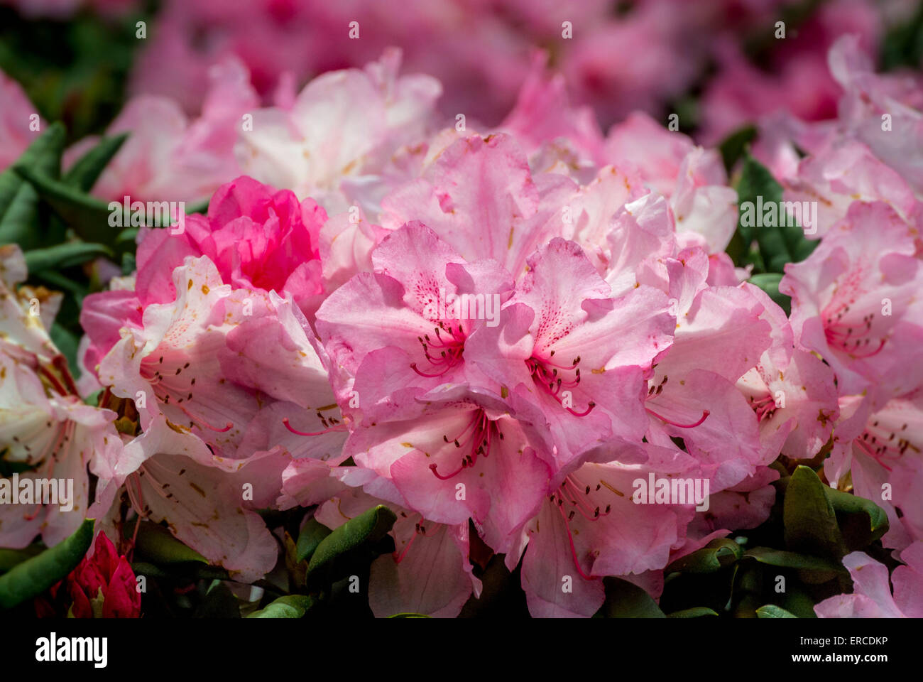 Rhododendron flowering - Stock Image