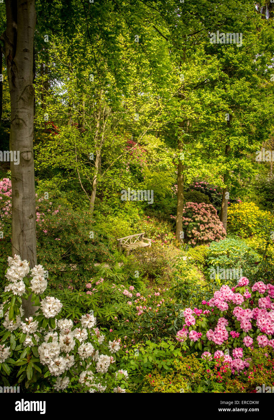 Rhododendron flowering in Himalayan Garden, North Yorkshire. - Stock Image