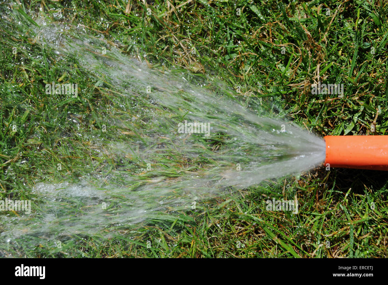 Wasting water garden hose left running on grass lawn - Stock Image