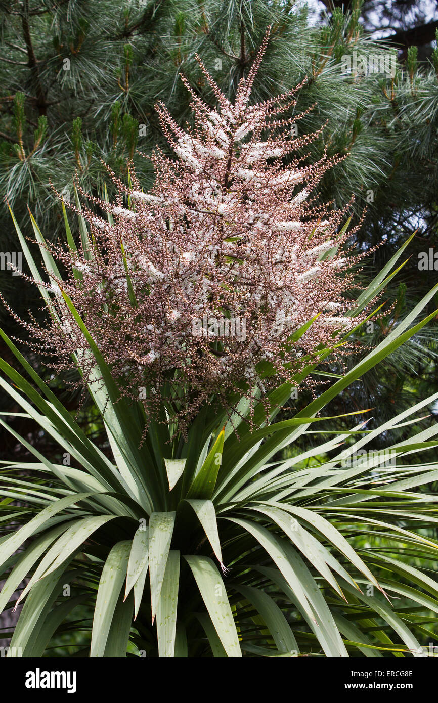 A Cabbage Tree In Flower Stock Photo Alamy
