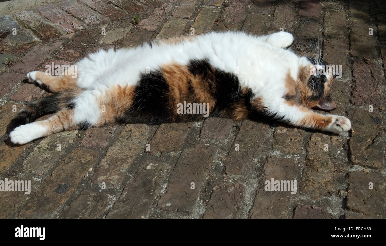 tortoise shell cat with white belly lying on her ack outside in the sunshine asleep in the back yard with legs and - Stock Image