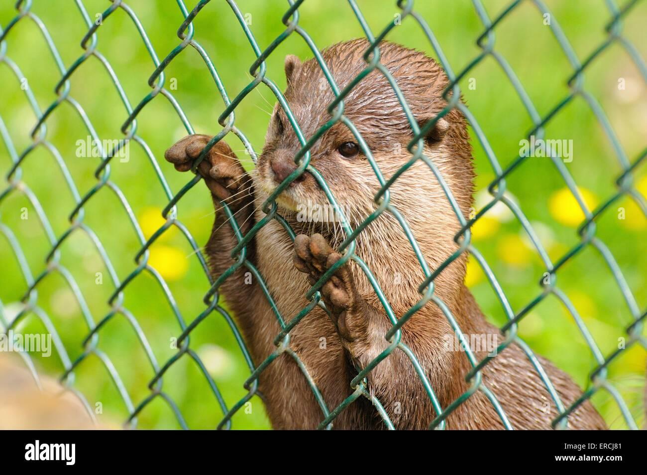 marine otter - Stock Image