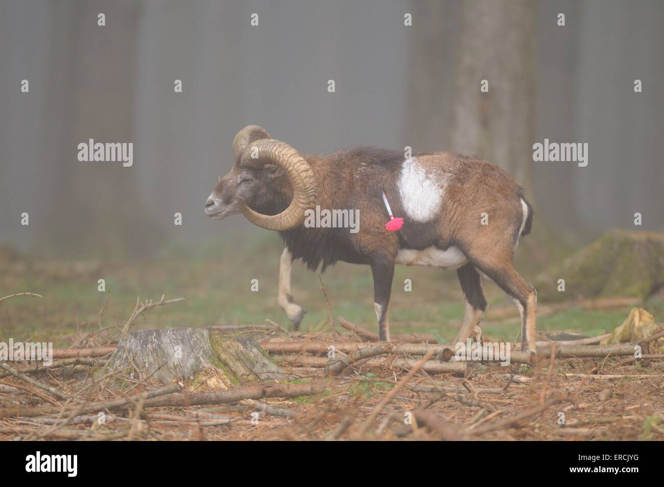 moufflon - Stock Image