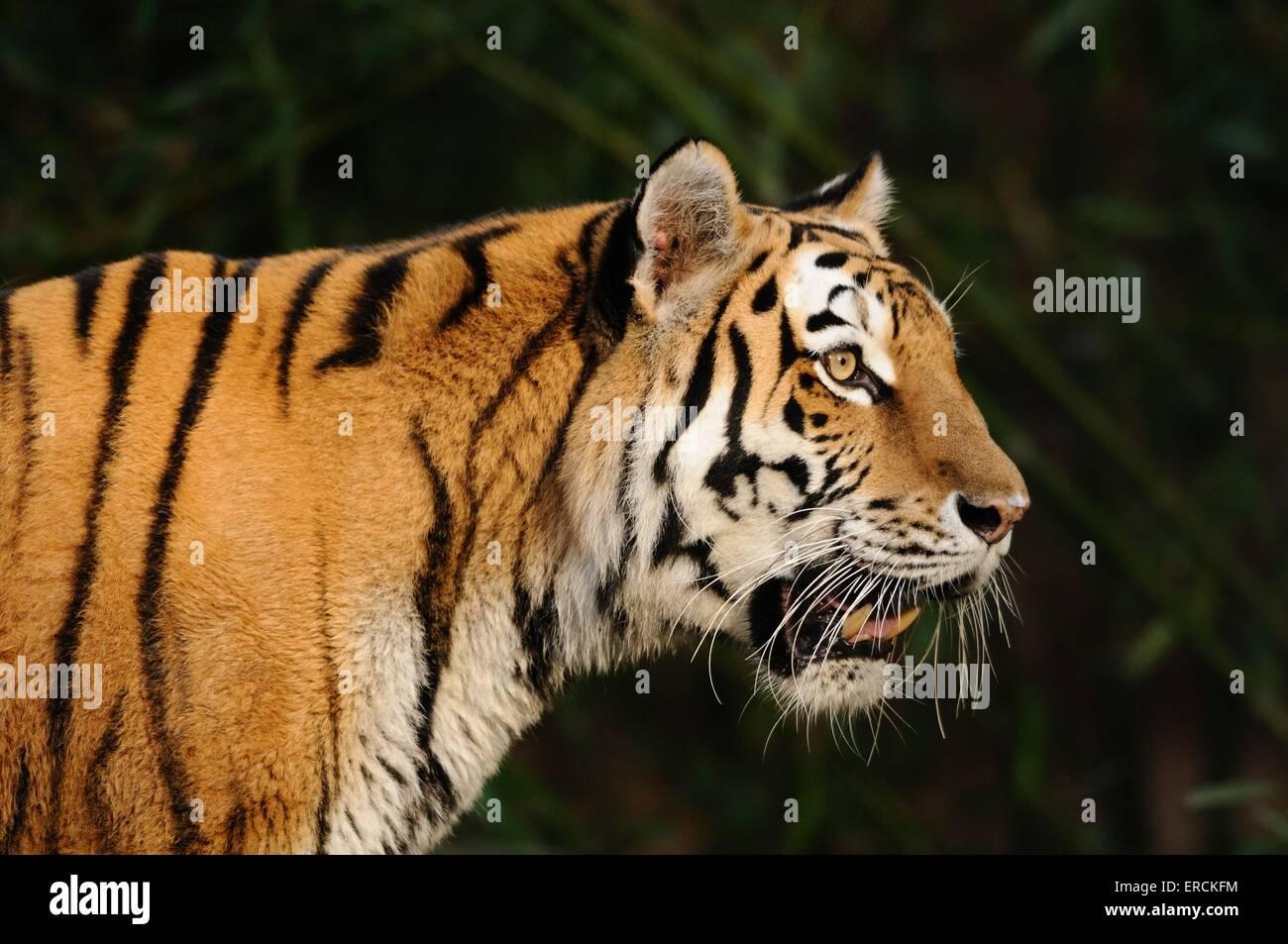 Tiger Portrait - Stock Image
