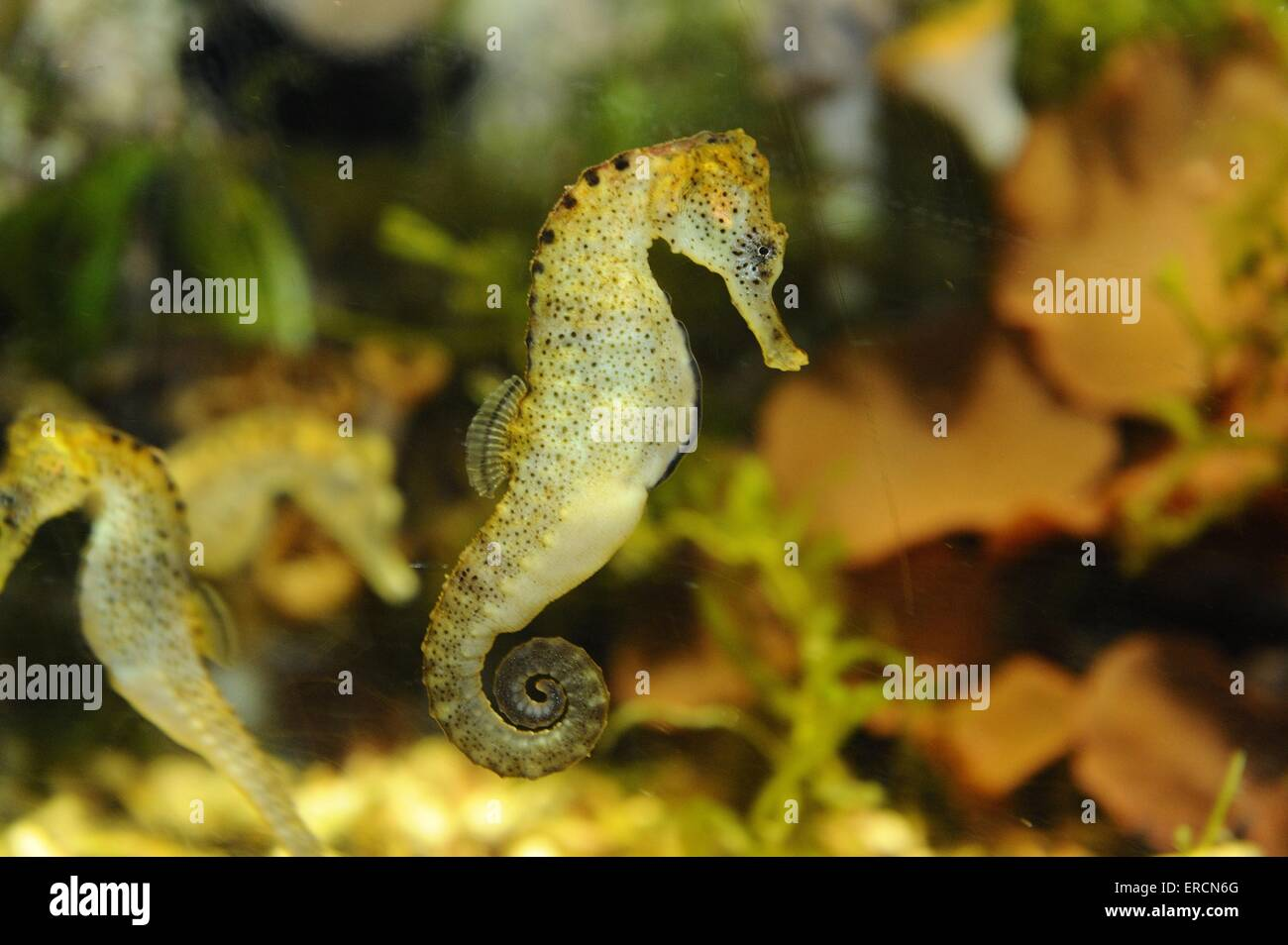 short snouted seahorse - Stock Image