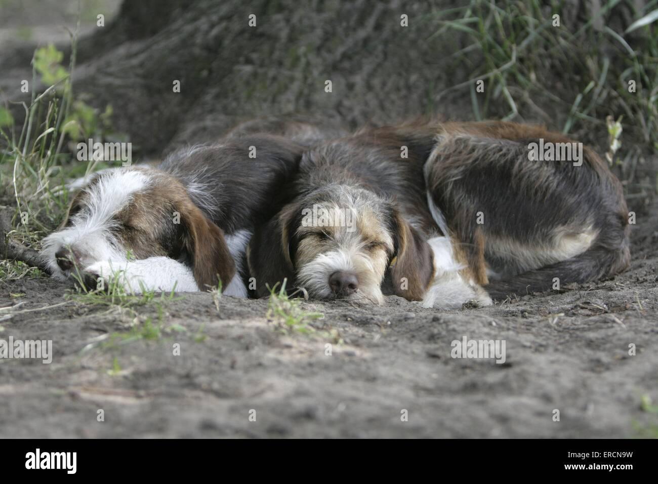 lying dogs - Stock Image
