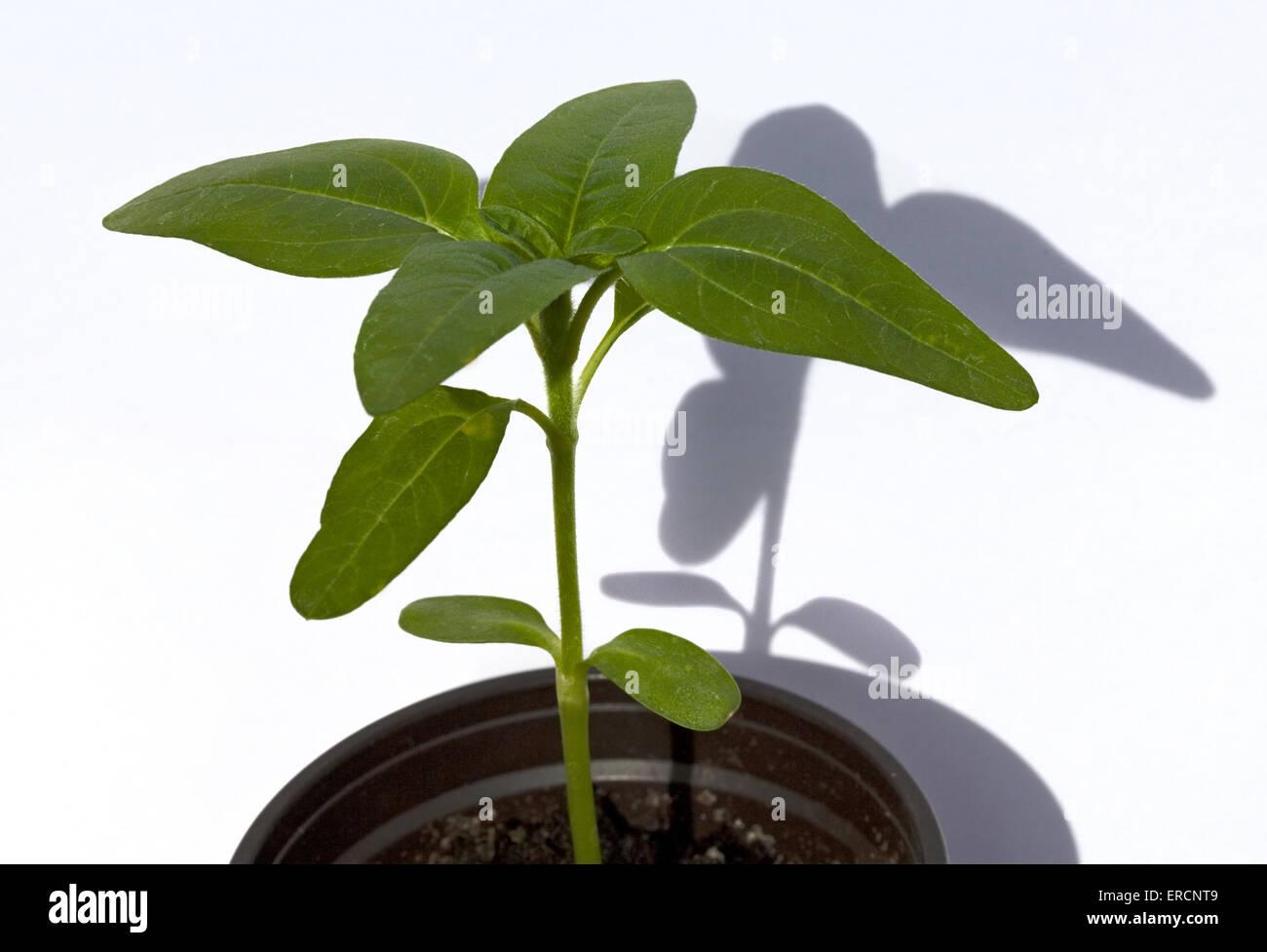Sunflower Seedling (heliantus Pacino) - Stock Image