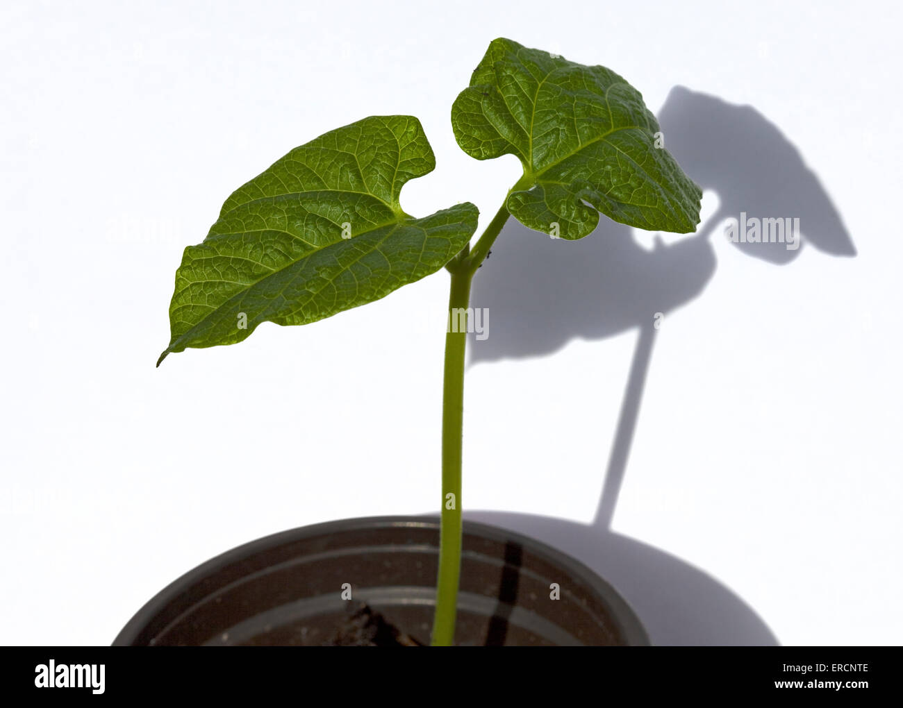 Runner Bean Seedling (Polestar) - Stock Image