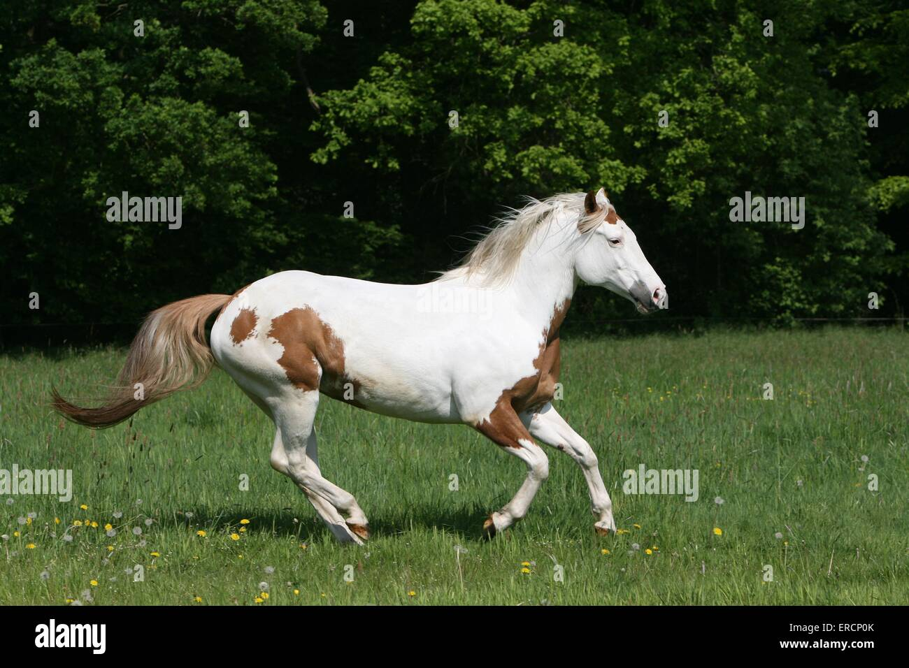 Paint Horse High Resolution Stock Photography And Images Alamy