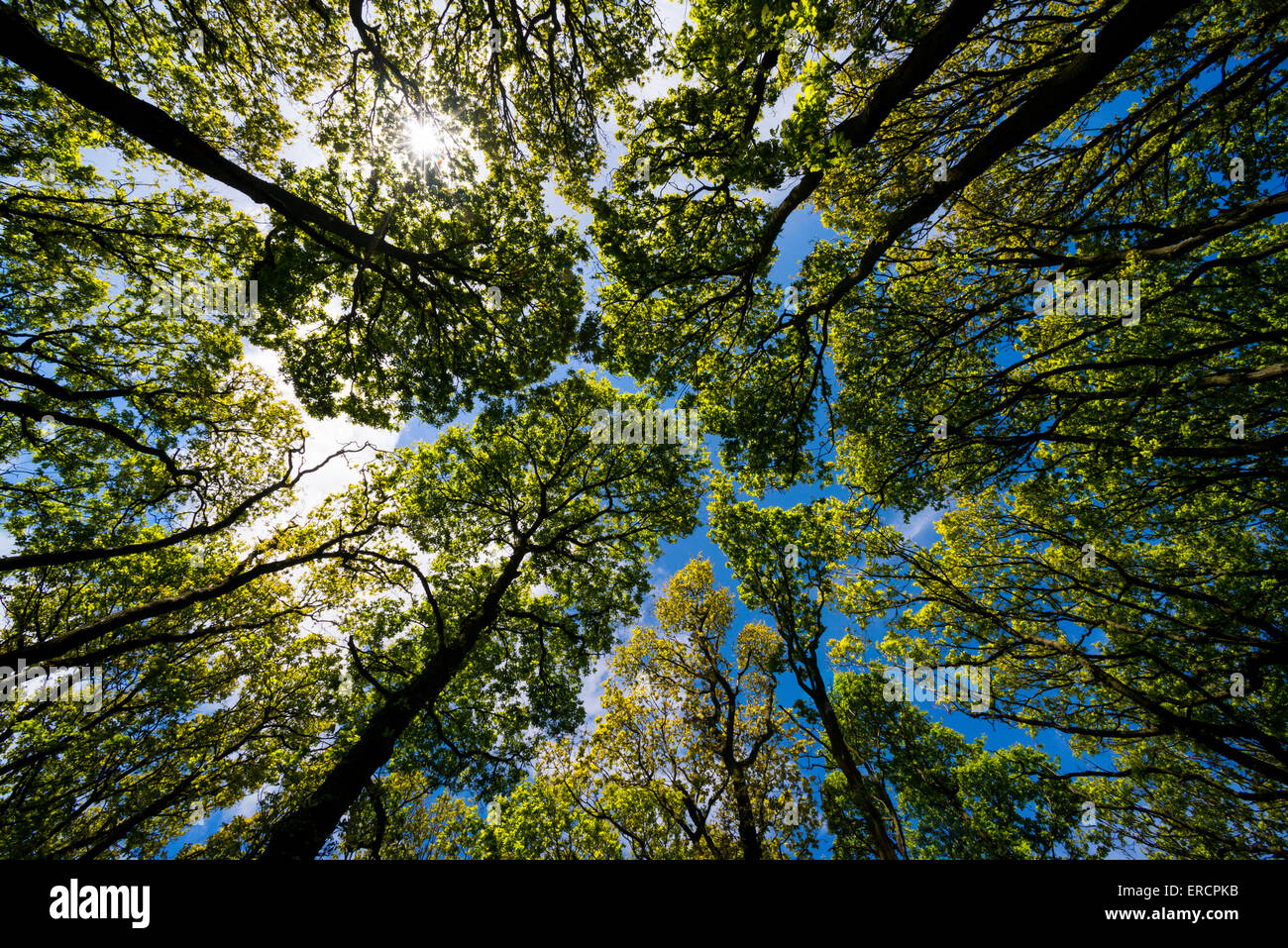 Oak tree canopy in The Ercall woods, Shropshire, England. - Stock Image