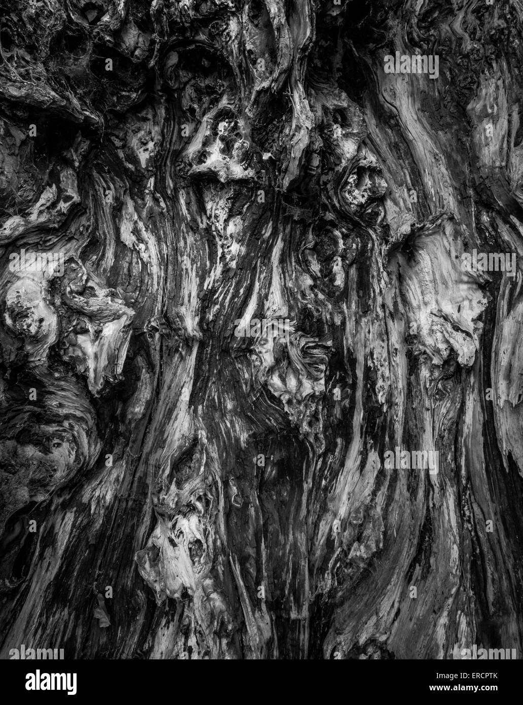 Inside the hollow of an old yew tree. - Stock Image
