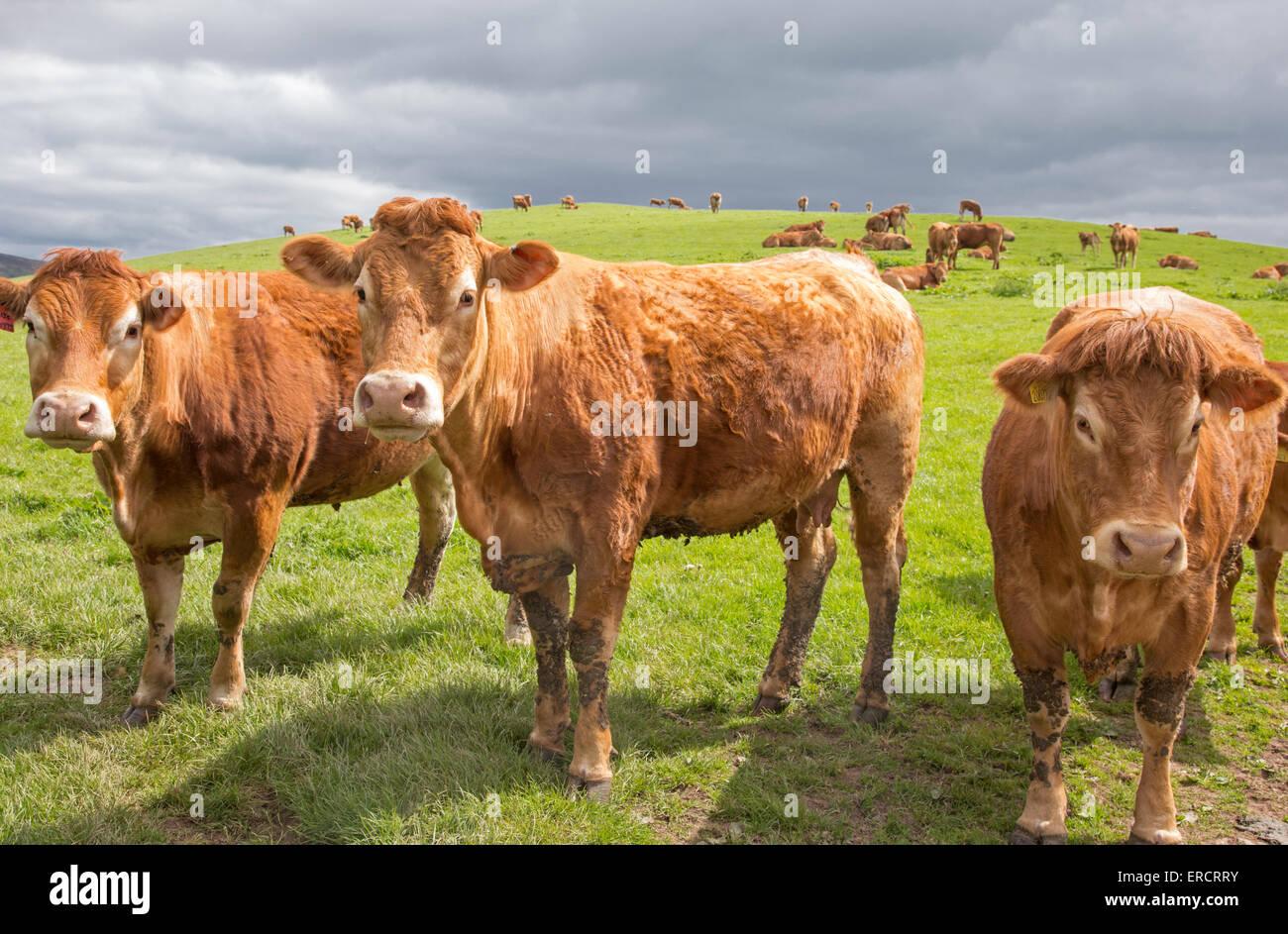 Red Ruby Devon Cattle, Shropshire, England, UK - Stock Image