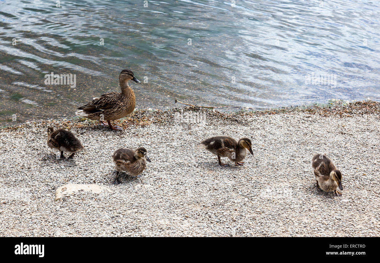 A female mallard and four mallard ducklings on the shores of The Mere, Ellesmere, Shropshire, UK - Stock Image