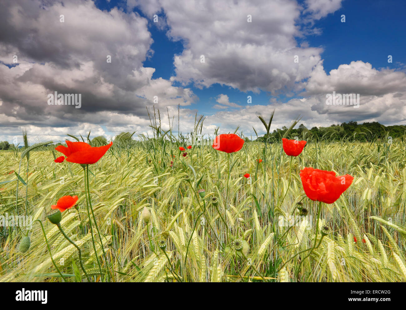 Poppies in wheat field with beautiful sky clouds - Stock Image