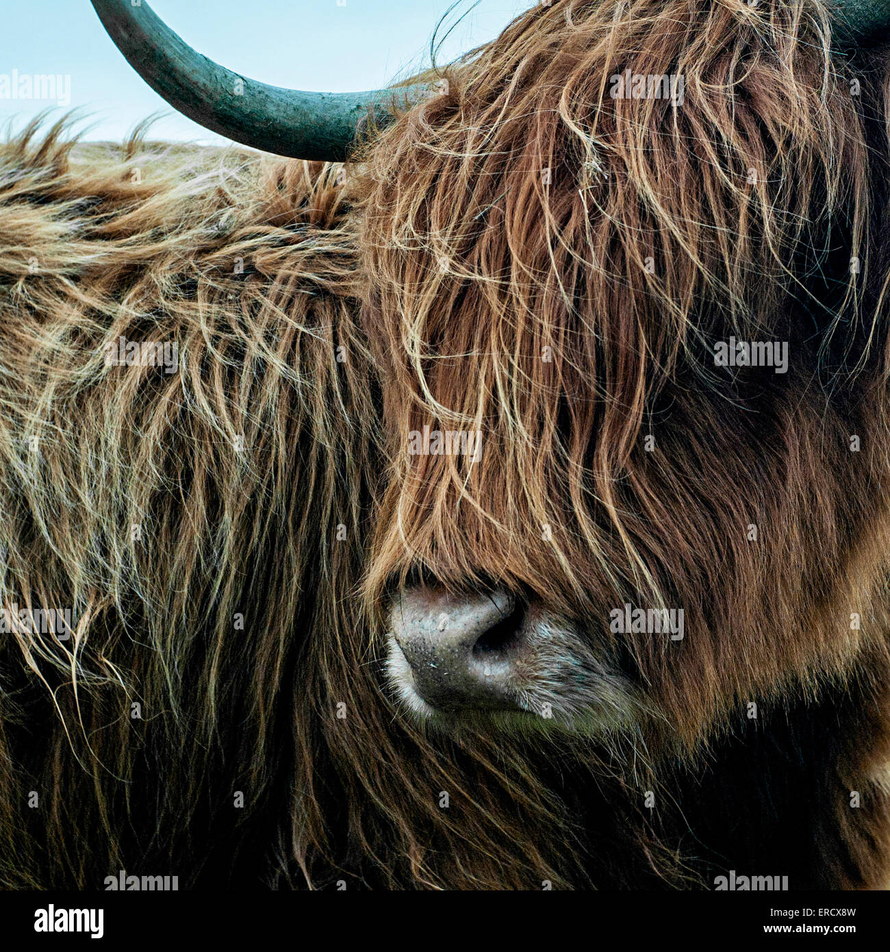 Highland Long Horn Cow light Brown shaggy coated cow with long curved horns on Bodmin Moor, Cornwall - Stock Image
