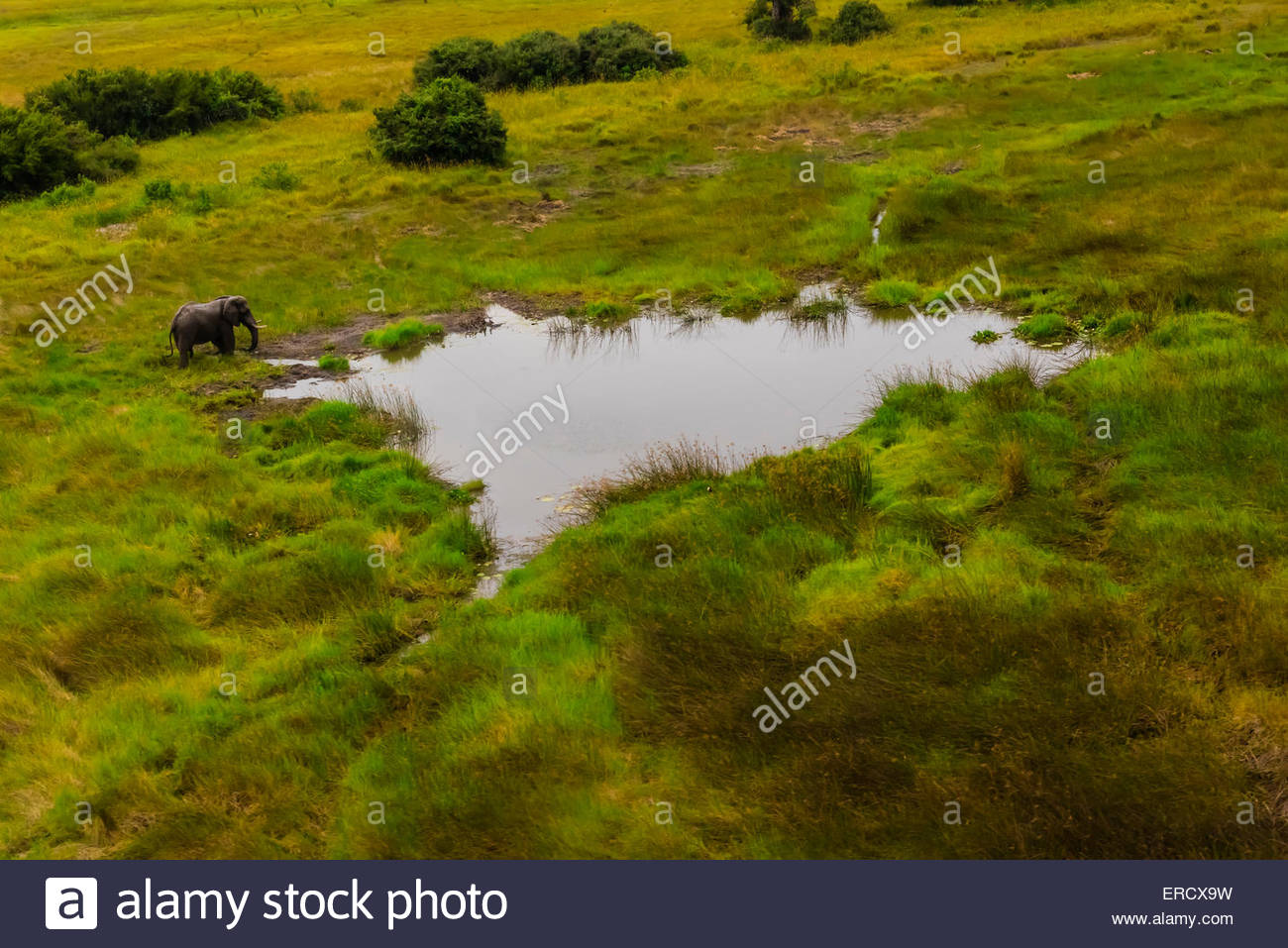Aerial view of an African elephant at a watering hole, Okavango Delta, Botswana. - Stock Image