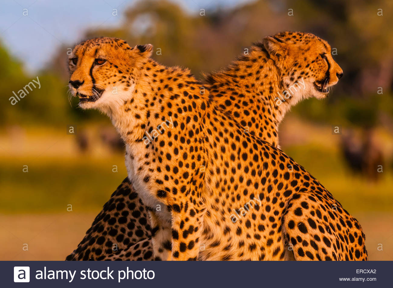 Two cheetahs on a mound, near Kwara Camp, Okavango Delta, Botswana. - Stock Image