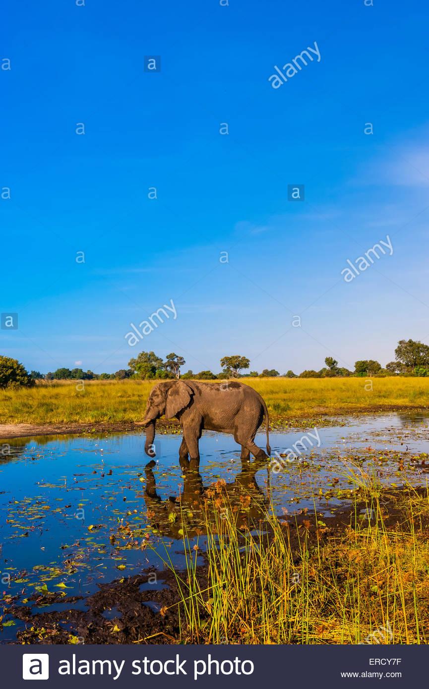 Elephant walking in a stream, near Kwara Camp, Okavango Delta, Botswana. - Stock Image