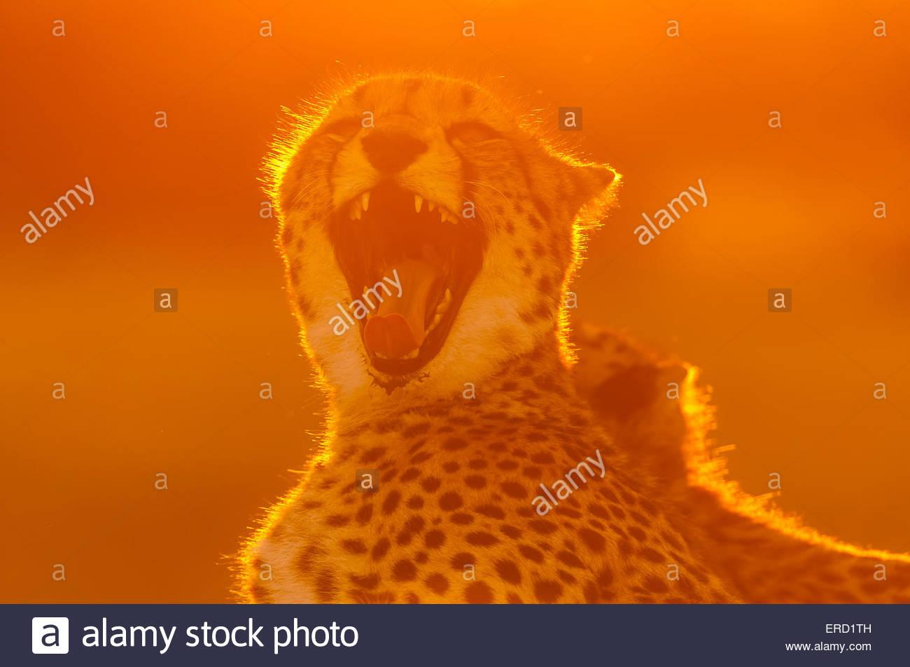 A cheetah yawning, Okavango Delta, Botswana. - Stock Image
