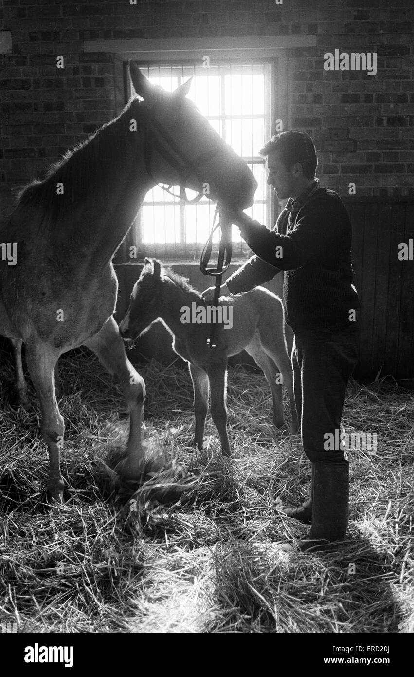 Stables at Newmarket. 3rd March 1965. - Stock Image