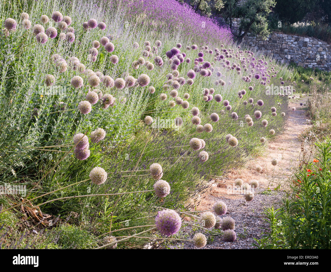 Castiglion del Bosco, Val d'Orcia, Tuscany, Italy. Alliums growing in the gardens surrounding this luxury hotel - Stock Image