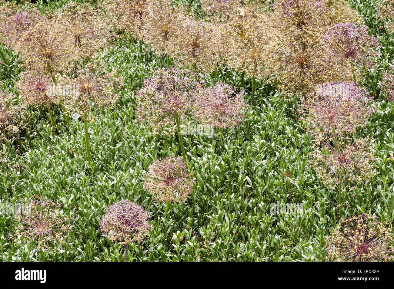 The dry seed heads of allium flowers in a garden in Italy - Stock Image
