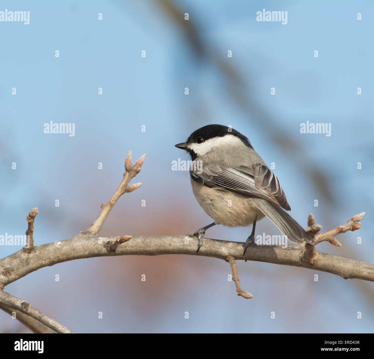 Carolina Chickadee perched on an oak limb in winter - Stock Image